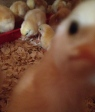 The chicks were very interested in my iPhone:)