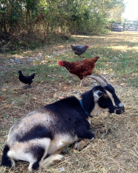 Rosie hangin' with the chickens.